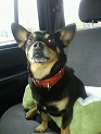 Taz dog, black and tan chihuahua-datsun cross, hanging out on the back seat of our Jeep